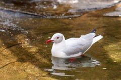 Mouette dans l'eau Image stock