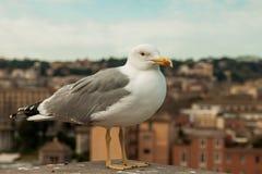 Mouette dans la ville rome Images stock