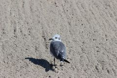 Mouette dans le sable Photos stock