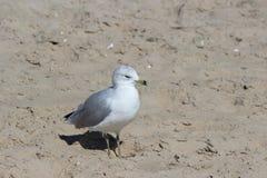 Mouette dans le sable Images libres de droits