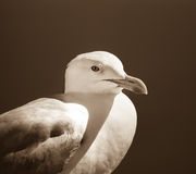 Mouette dans sideprofile Photo stock