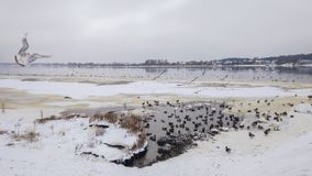 Mouette dans une dvina occidentale de rivière d'hiver à Riga, Lettonie, l'Europe est image stock