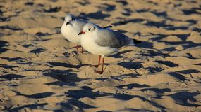Mouette de la nature deux sur Sandy Beach Freedom Of Life d'or image libre de droits