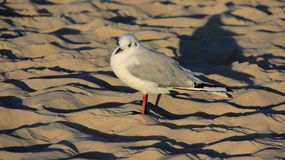 Mouette de la nature une sur Sandy Beach Freedom Of Life d'or photographie stock