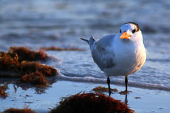 Mouette de mer Photo stock