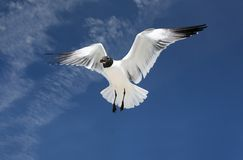Mouette de mer en vol Image libre de droits