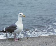 Mouette de mer par la mer Image stock