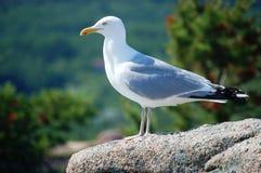 Mouette de mer sur la roche photo libre de droits