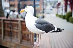 Mouette de Monterey la Californie regardant sur la baie Image libre de droits