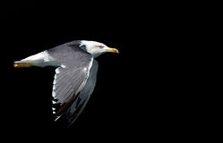 mouette de mouche d'oiseau Photographie stock