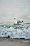 Mouette de natation Photo libre de droits