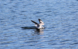 Mouette de plongée Photos libres de droits