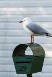 Mouette de Silve sur la boîte aux lettres Images libres de droits