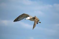 Mouette de vol Photos libres de droits