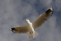 Mouette de vol Images libres de droits