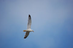 Mouette de vol Photographie stock