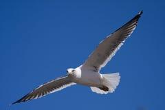 Mouette de vol   Photographie stock libre de droits