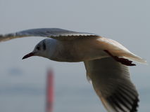 Mouette de vol Images stock