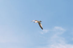 Mouette de vol photo stock