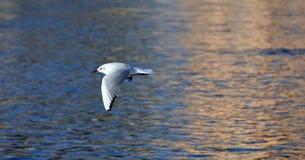 Mouette de vol au-dessus de rivière Photo libre de droits
