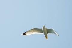 Mouette de vol avec le ciel bleu à l'arrière-plan Images libres de droits
