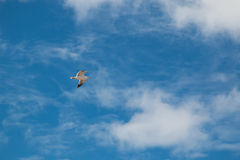 Mouette de vol et un ciel Photos libres de droits