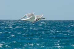 Mouette de vol sur le fond de la mer Image stock