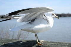 Mouette effectuant le vol Photos stock
