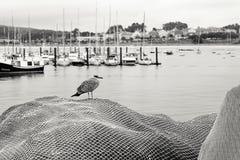 Mouette en filets de pêche en Galicie, Espagne image stock