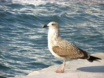 Mouette en mer Photo stock
