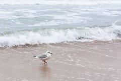 Mouette en mer Images libres de droits