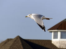 Mouette en vol Photo stock