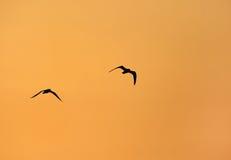 Mouette en vol pendant le lever de soleil Image libre de droits