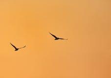 Mouette en vol pendant le lever de soleil Photos stock