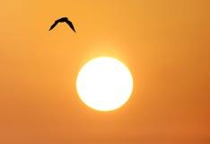 Mouette en vol pendant le lever de soleil Images libres de droits