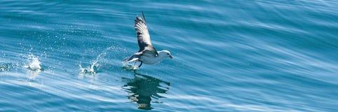 Mouette essayant de pêcher un poisson Images libres de droits