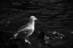 Mouette et eau en noir et blanc Image stock