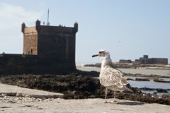 Mouette et fortifications de port d'Essaouira, Maroc image stock