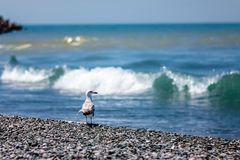 Mouette et mer photo stock