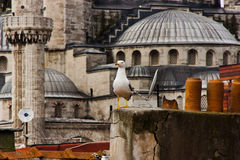 Mouette et mosquée bleue, Istanbul Image stock