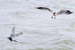Mouette et pigeon. Photo libre de droits