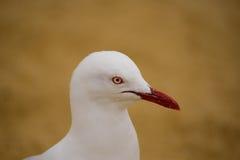 Mouette et yeux rouges Image libre de droits