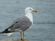 Mouette examinant la mer Photo stock