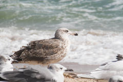 Mouette le long de la plage Photos stock