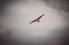 Mouette libre Photo libre de droits