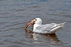 Mouette mangeant les poissons énormes dans l'eau Photo libre de droits