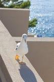 Mouette marchant sur le balcon Images stock
