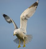Mouette montante Images stock