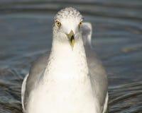 Mouette nageant en avant avec des yeux regardant fixement droit devant dans l'appareil-photo Photographie stock libre de droits