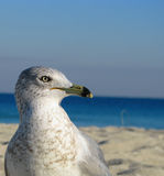 Mouette observant prudemment Photos stock